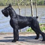 Ризеншнауцер щенки чёрного окраса, Ярославль