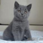 Британские к. ш котята, Ярославль