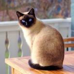 Котёнок-сиам , возраст 2 месяца, Ярославль
