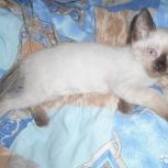 Котята сиамские возраст 3 месяца, Ярославль