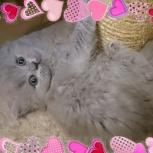 Английские длинношерстные котята (Хайленд), Ярославль