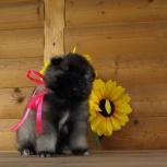 Породные щенки вольфшпица (кеесхонда), Ярославль